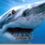 Внимание, акулы в Черном море!