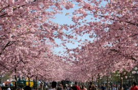 Один день в саду цветущей сакуры