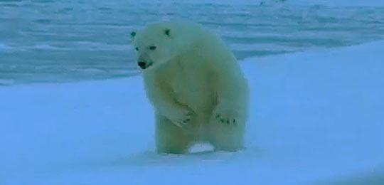 Для белых заполярных медведей Архипелаг Шпицберген - настоящий рай