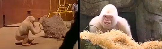 Символ зоопарка Барселоны - горилла Снежок