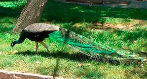 Павлин в зоопарке